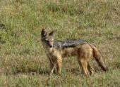 В Абхазии проходит отстрел волков и шакалов