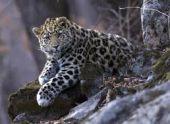 Леопардов на Кавказе вернут в природу при помощи Абхазии