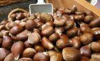 В Абхазии завершается первый этап лечения фундука