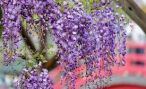 В Абхазии цветет глициния