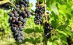 Виды на урожай винограда в Абхазии хорошие