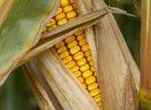 В Абхазии собирают урожай кукурузы