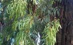 В Абхазии введен запрет на вывоз эвкалипта
