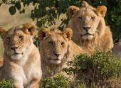 Жители Абхазии помогли выжить львам в селе Аацы
