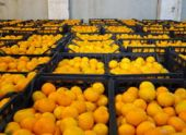 Президент Абхазии потребовал сократить затраты на экспорт цитрусовых