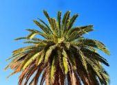 Крупноствольные пальмы в Абхазии в этом году не пострадали от долгоносика