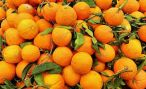 Сезон цитрусовых начался в Абхазии