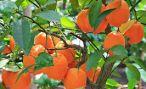 Абхазия успешно борется с вредителями на цитрусовых плантациях
