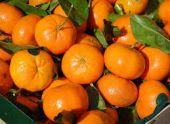 В Сочи из Абхазии экспортировано 1,5 тыс. тонн мандаринов